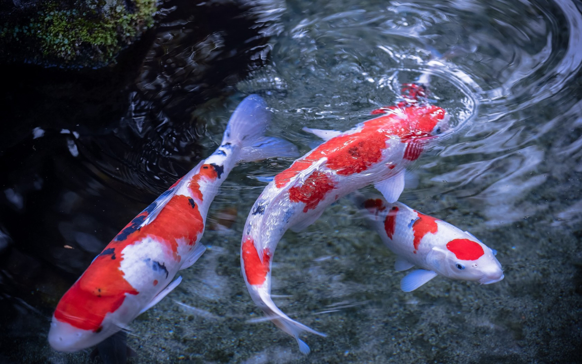 Fish koi holding tanks large steel atlantica gardens for Large koi carp